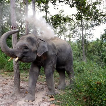 Think Before You Ride: Elephant Tourism in Thailand